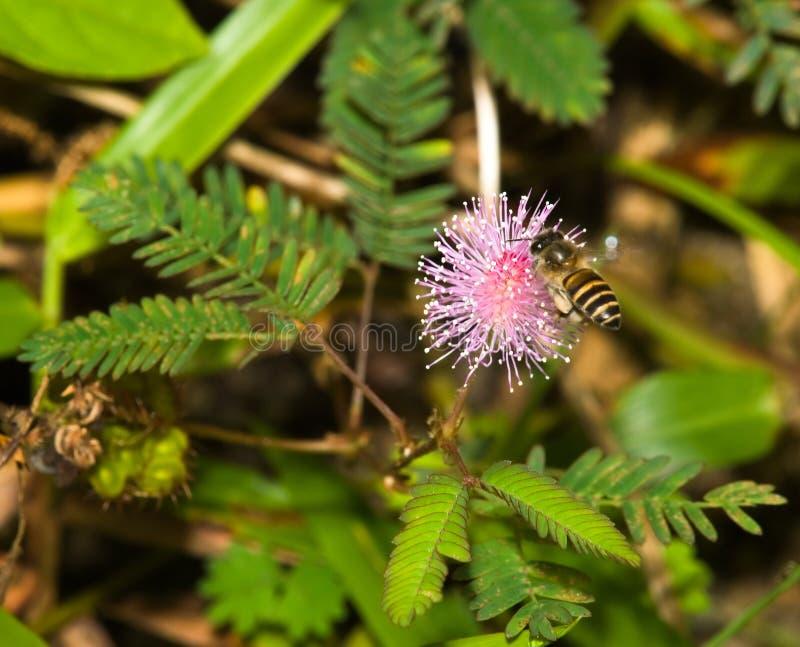 mimosa цветка пчелы стоковое изображение rf