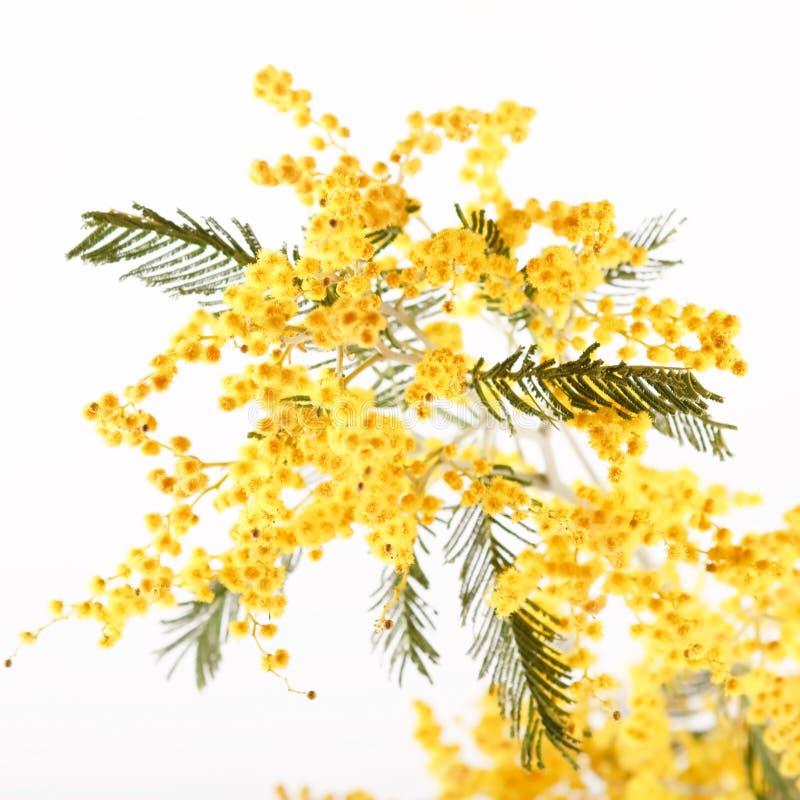 Mimosa. On the white background stock photo
