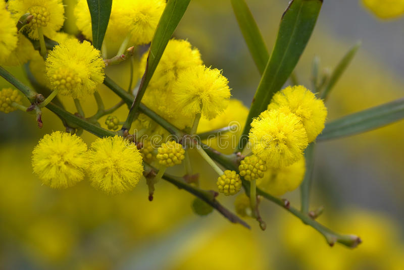 Mimosa. Close up of twig with fluffy blooming mimosa royalty free stock photography
