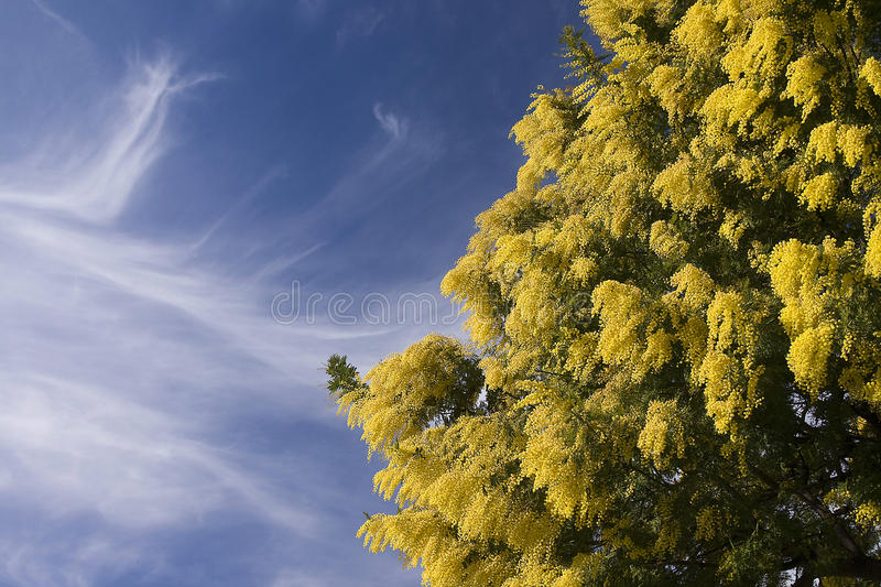 Mimosa foto de stock royalty free
