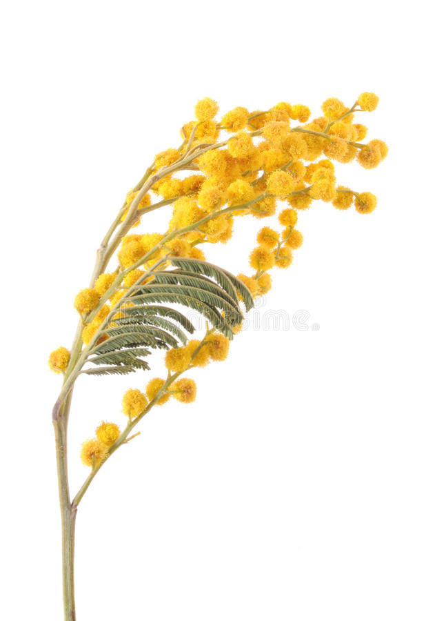 Mimosa. Branch of a mimosa isolated on white background royalty free stock photography
