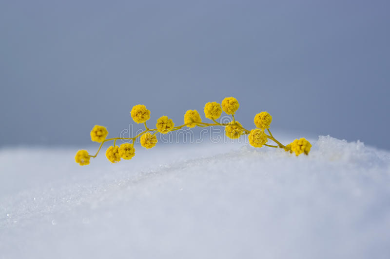 Mimosa. Branch of mimosa lying on snow royalty free stock photography