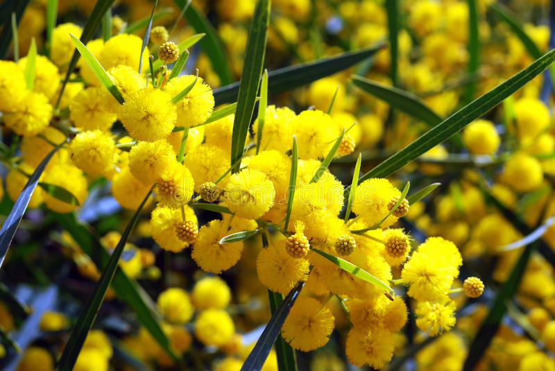 Mimosa. Branch of yellow fresh Mimosa stock images