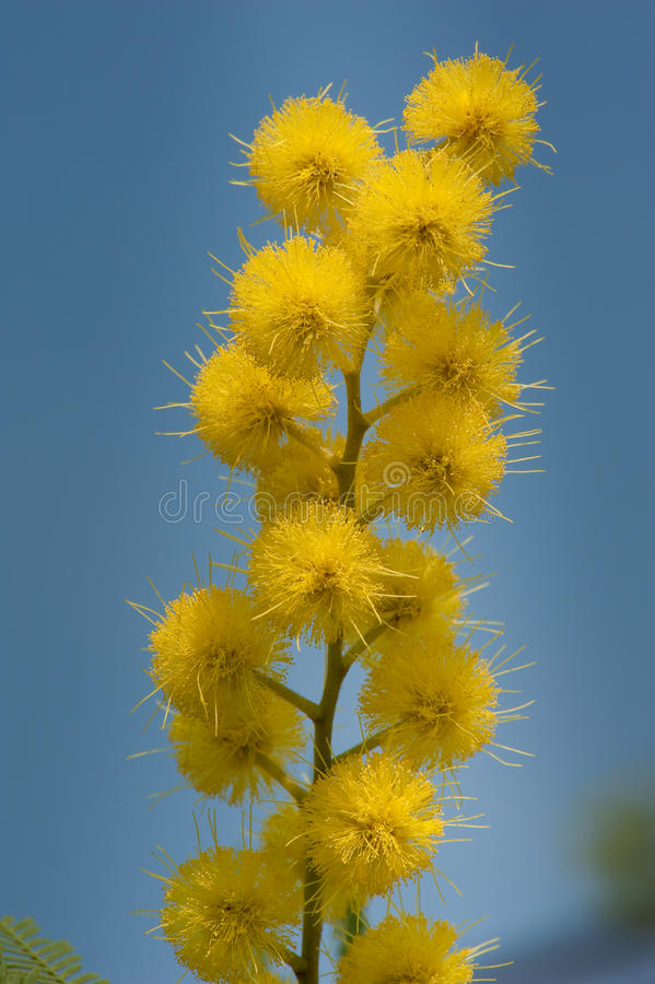 Download Mimosa stock image. Image of garden, ball, blooming, nature - 13824209