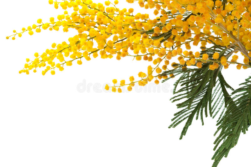 Mimosa. Branch of a mimosa on a white background royalty free stock images