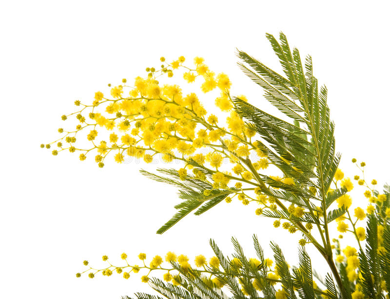 Mimosa. Branch of mimosa plant with round fluffy yellow flowers stock images