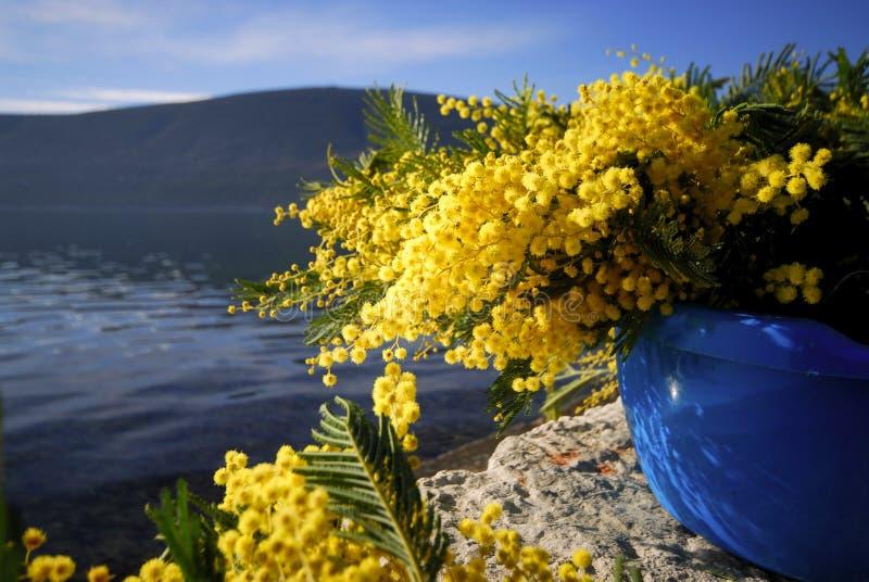 Mimosa 18 стоковое изображение rf