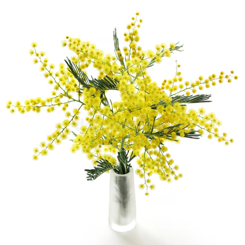Mimosa. On a white background royalty free stock image