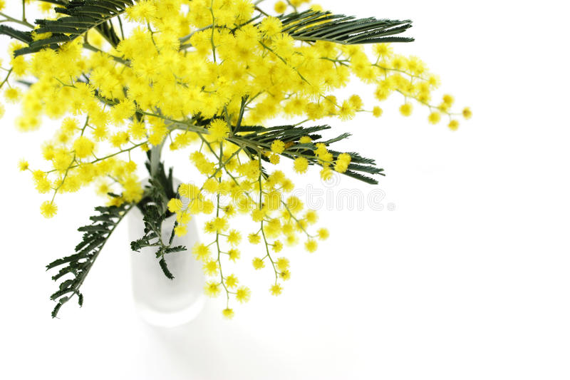 Mimosa. On a white background royalty free stock images
