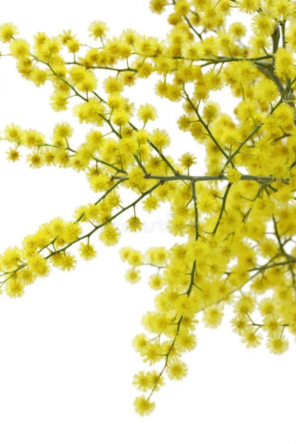 Mimosa. On a white background stock photos