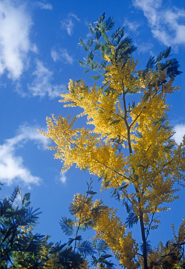 Download Mimosa Royalty Free Stock Photography - Image: 18174327