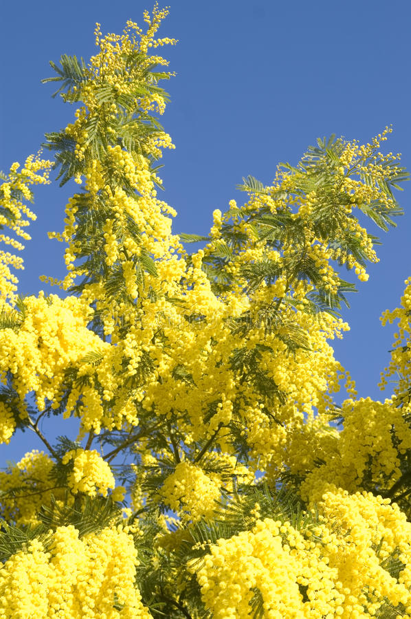 Mimosa. The yellow flower of the mimosa tree stock photo