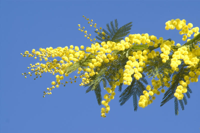 Mimosa. The yellow flower of the mimosa tree stock photos