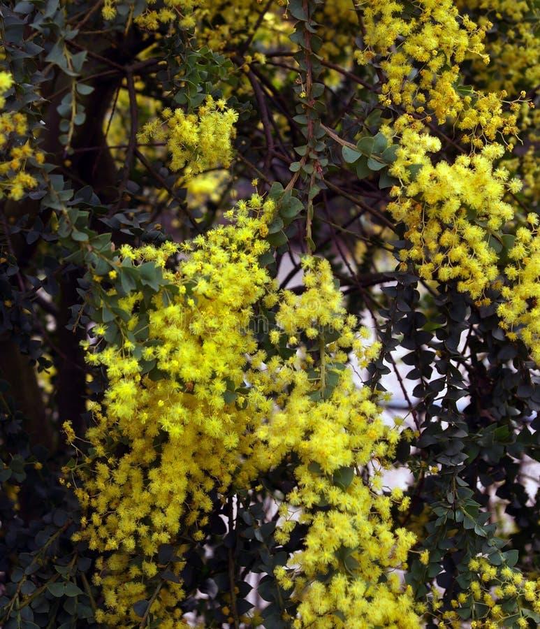 mimosa стоковые изображения