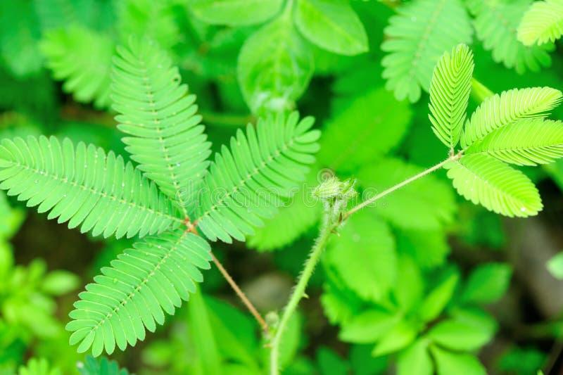 Download Mimosa imagen de archivo. Imagen de vida, crezca, hermoso - 41915369