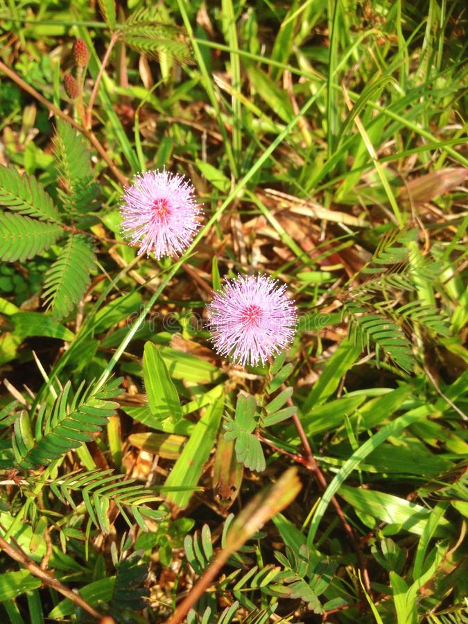 mimosa στοκ εικόνες