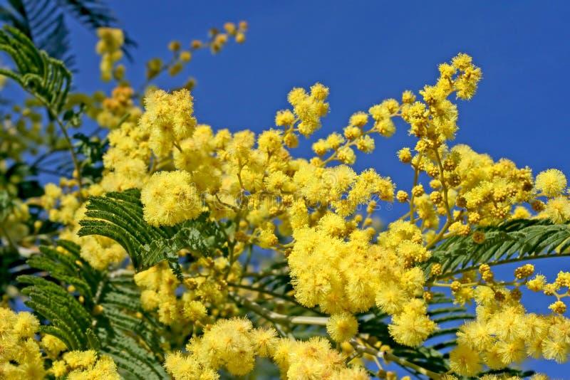 mimosa стоковые изображения rf