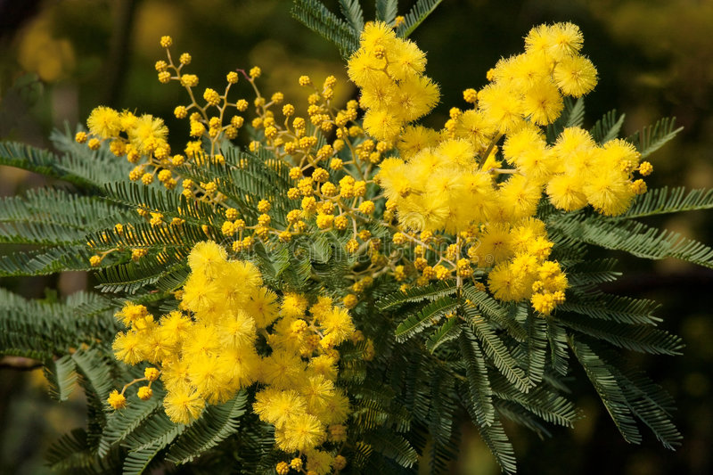 Mimosa. Growing in the South of France on the Cote d Azure stock photos