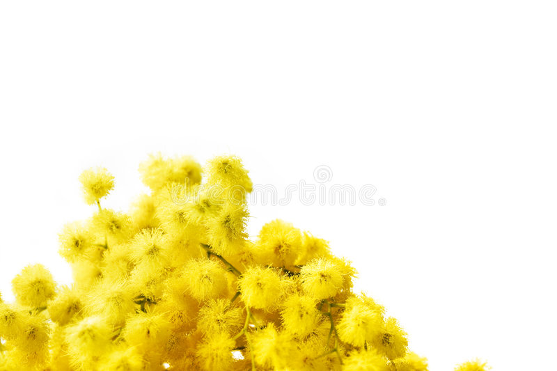 Mimosa. Branch of mimosa flowers isolated on white. Large space for copy royalty free stock photography