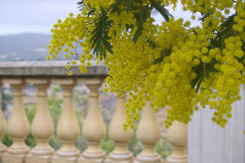 mimosa royalty-vrije stock foto