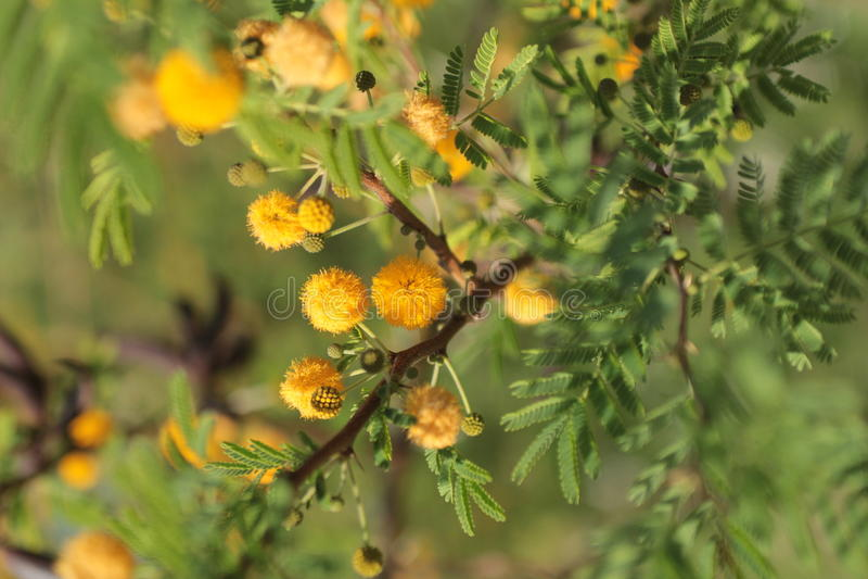 mimosa royaltyfria foton