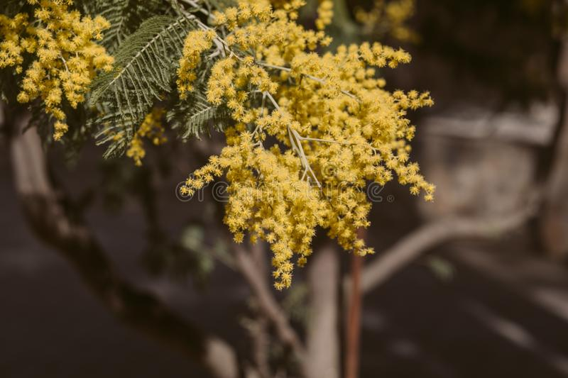Mimosa, acacia yellow flower. Springtime background. Close up view of yellow mimosa flower royalty free stock photos
