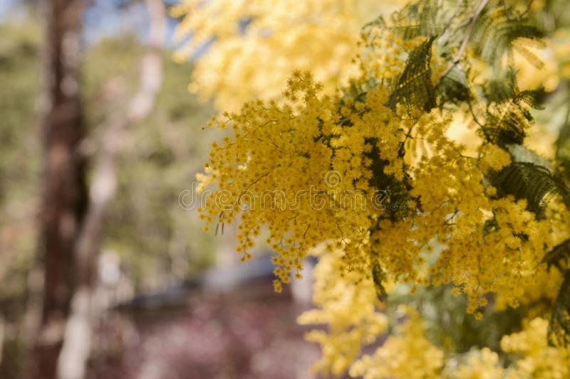 Mimosa, acacia yellow flower. Springtime background. Close up view of yellow mimosa flower royalty free stock photo