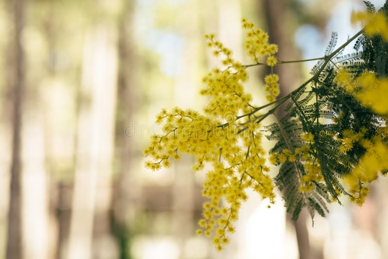 Mimosa, acacia yellow flower. Springtime background. Close up view of yellow mimosa flower stock images