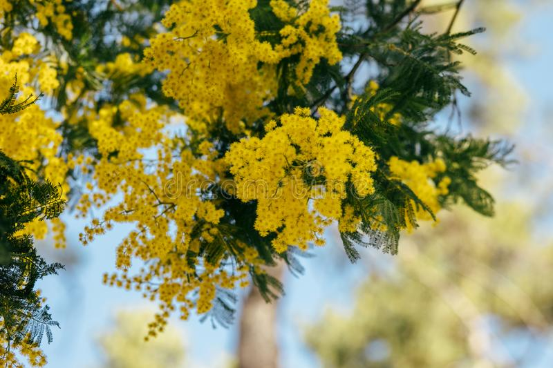 Mimosa, acacia yellow flower. Springtime background. Close up view of yellow mimosa flower stock image