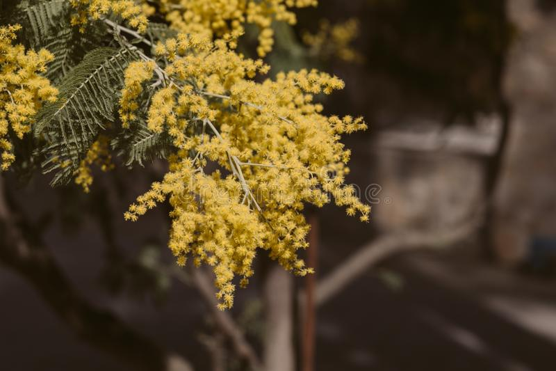 Mimosa, acacia yellow flower. Springtime background. Close up view of yellow mimosa flower royalty free stock images