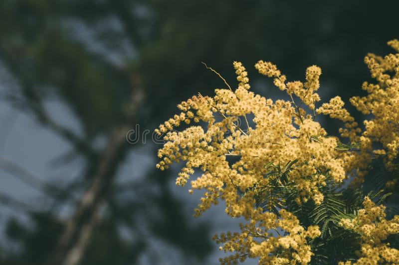 Mimosa, acacia yellow flower. Springtime background. Close up view of yellow mimosa flower royalty free stock image