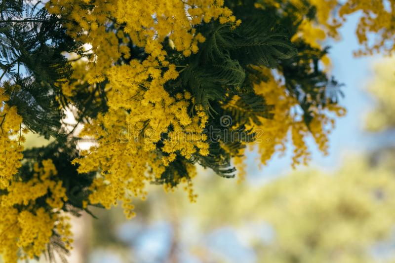 Mimosa, acacia yellow flower. Springtime background. Close up view of yellow mimosa flower stock photo