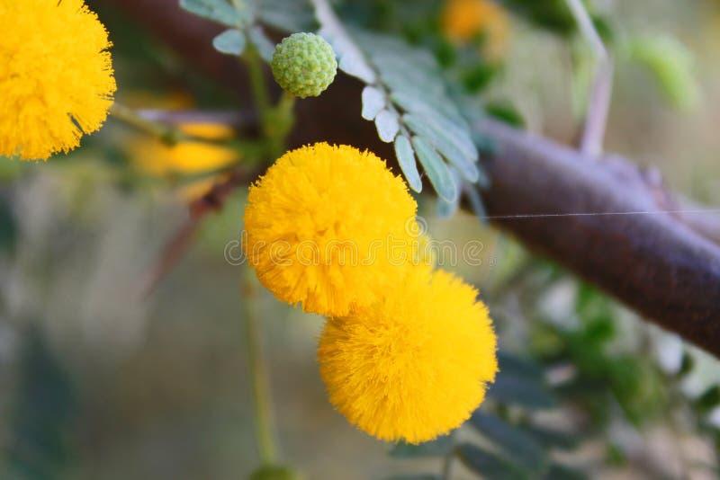 Mimosa in Africa fotografia stock