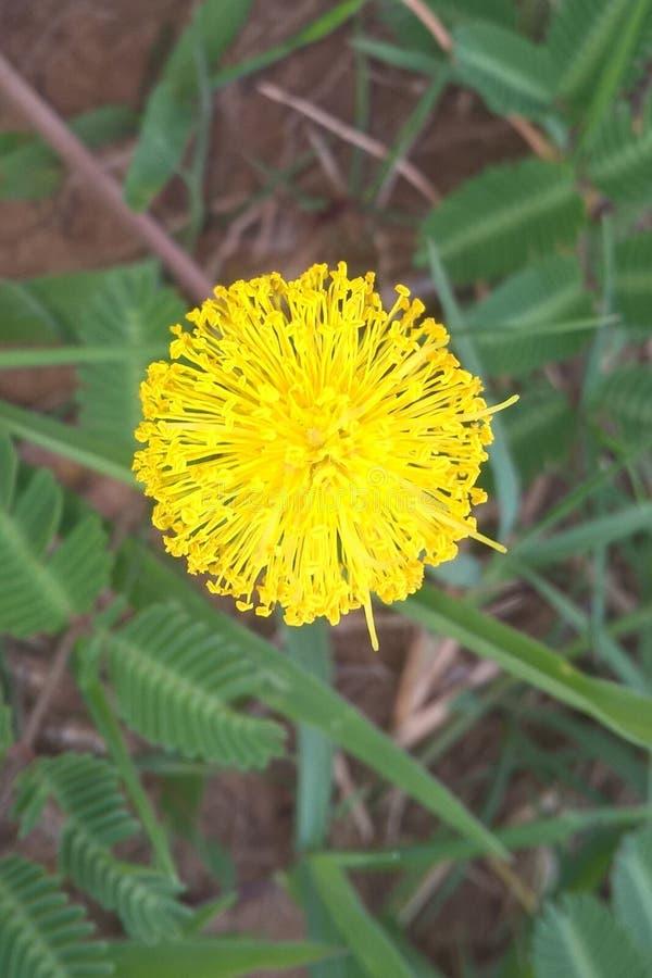 Mimosa amarillo fotos de archivo libres de regalías