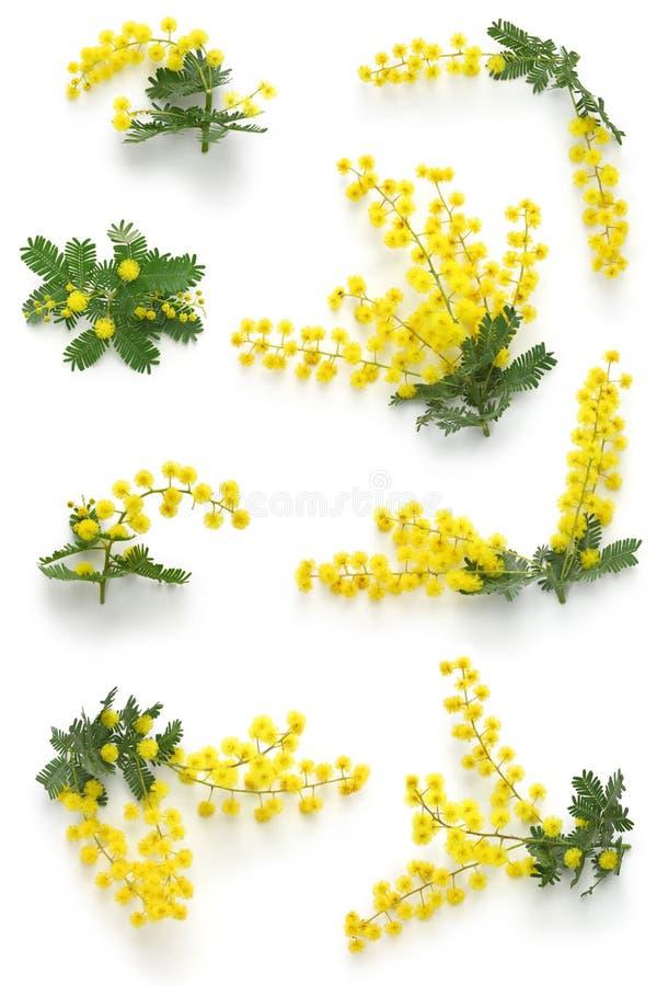 Mimosa assortments. For Festa della Donna royalty free stock photos