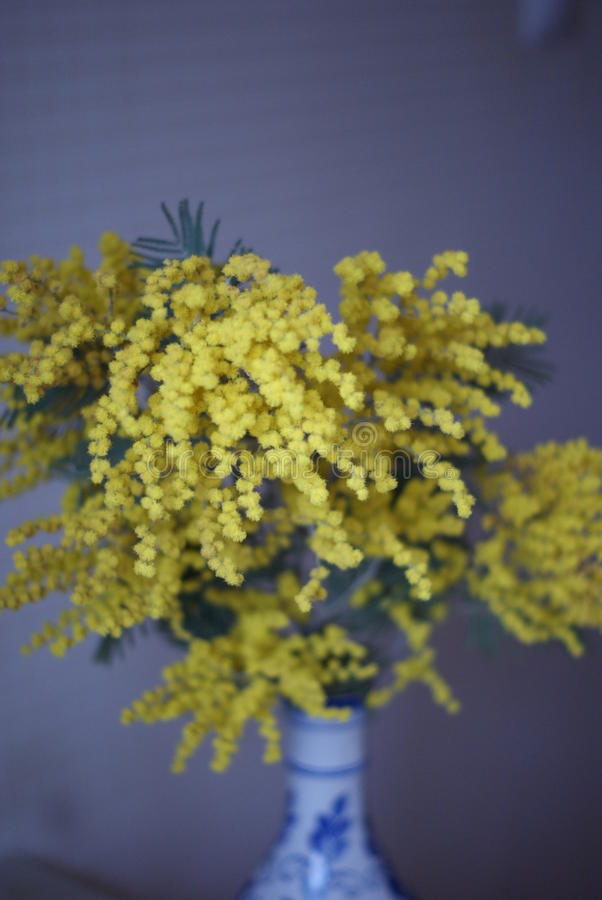 Mimosa stock images