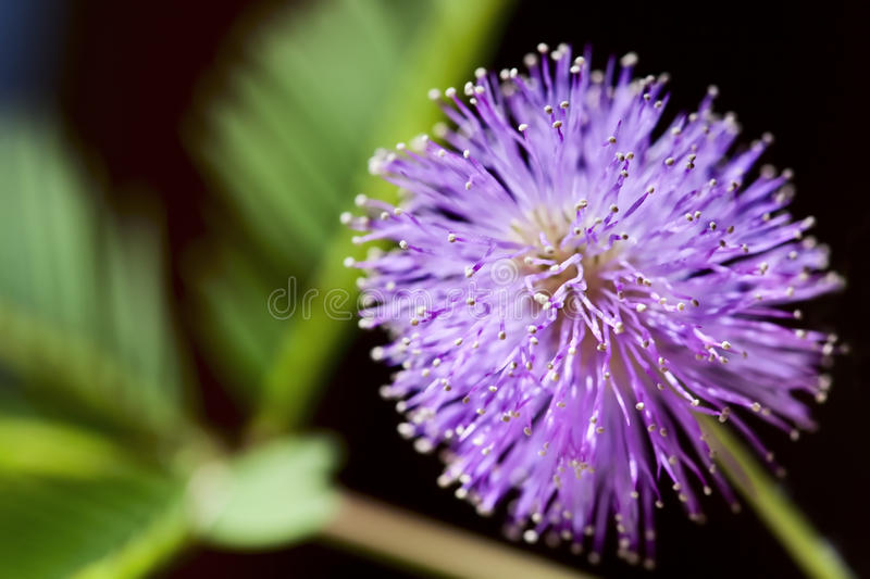 Mimosa blossom. Purple Mimosa blossom with green leaves in the background, make with Macro lens stock photos