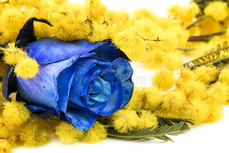 Mimosa and blue rose. On white background stock photo