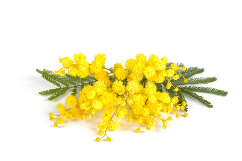 Mimosa branch royalty free stock image