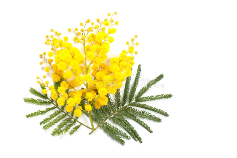 Mimosa branch. Frontal view of a mimosa branch royalty free stock photography
