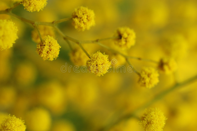 Mimosa branch. On diagonals, yellow fluffy balls, it is strongly increased,spring stock photography