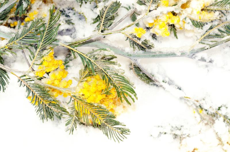 Mimosa branch covered with snow royalty free stock photo