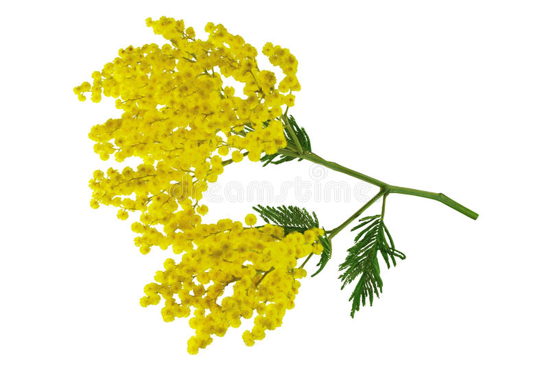 Mimosa branch isolated. stock image
