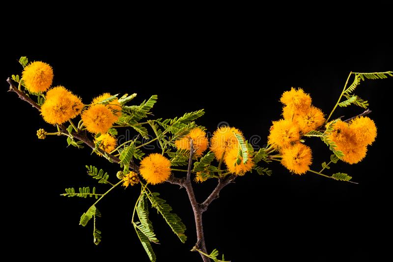 Mimosa branch with yellow flowers isolated on black royalty free stock photo