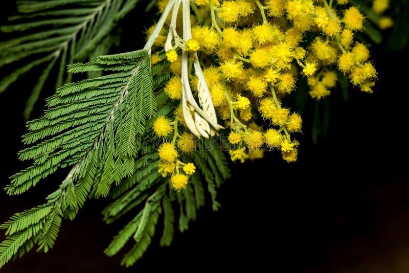 Mimosa Close up. Small flowers of yellow mimosa macro shot royalty free stock photo