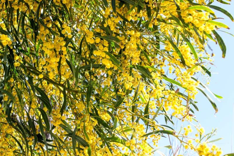 Mimosa colorida en la floración fotografía de archivo libre de regalías