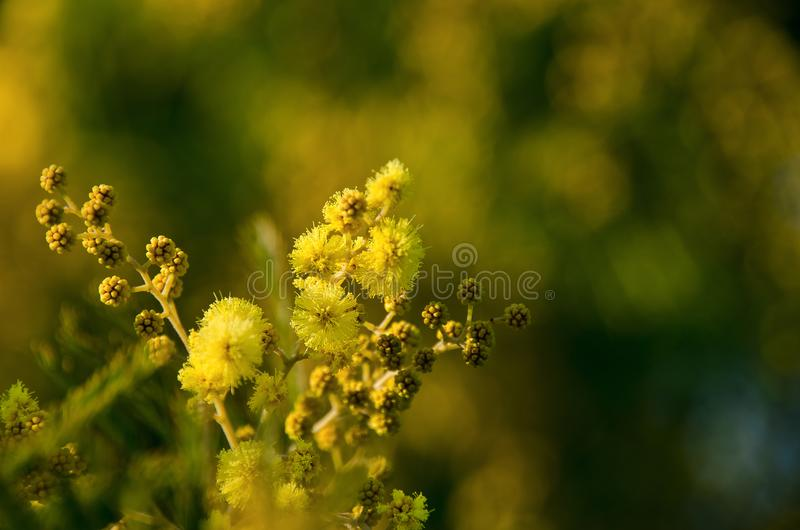 Mimosa. Detail of a mimosa tree stock photo