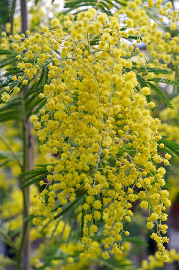 Mimosa flower. Particularly of a shrub of mimosa in bloom stock photos