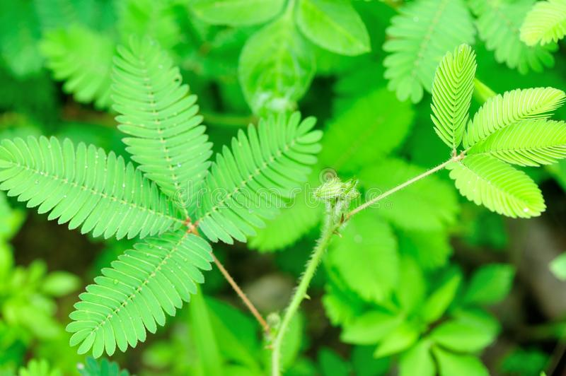 Mimosa. Flower and plant in garden royalty free stock images