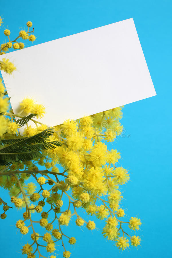 Mimosa flowers with blank card royalty free stock photography